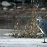 Bhutan's Endangered White-Bellied Heron