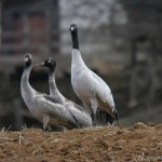 Bhutan visited by 368 Black-necked cranes