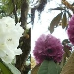Royal Botanical Park officials in Bhutan discover two new rhododendron species