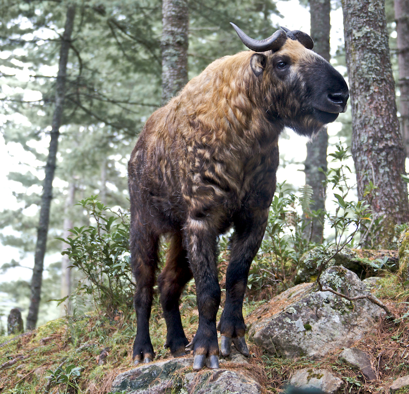The Legend Behind The Takin Bhutans National Animal Little Bhutan