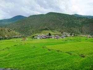 Lush green paddy fields at Lobeysa village