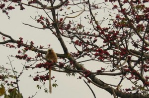 Golden Langur at the Royal Manas Park, Bhutan