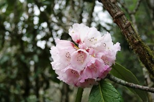 Rhododendron flowers at Lamperi, Bhutan